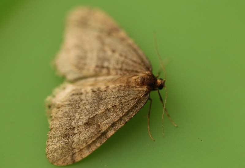 Male winter moth
