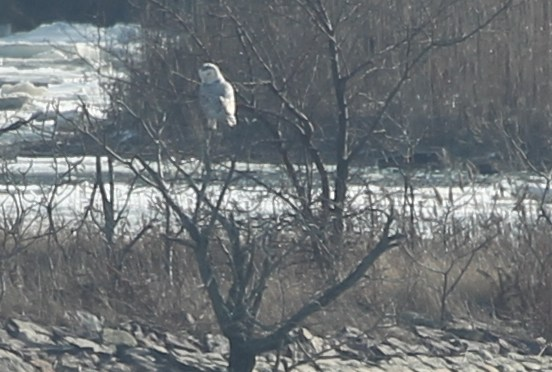 Snowy owl perched on a shrub