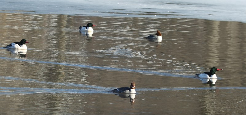 A circle of common mergansers
