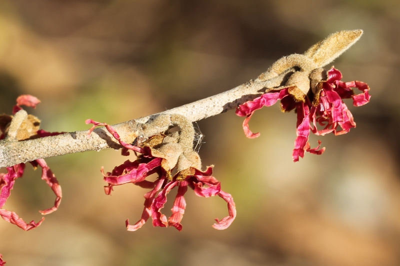 Hiltingbury witch-hazel with red petals in bloom