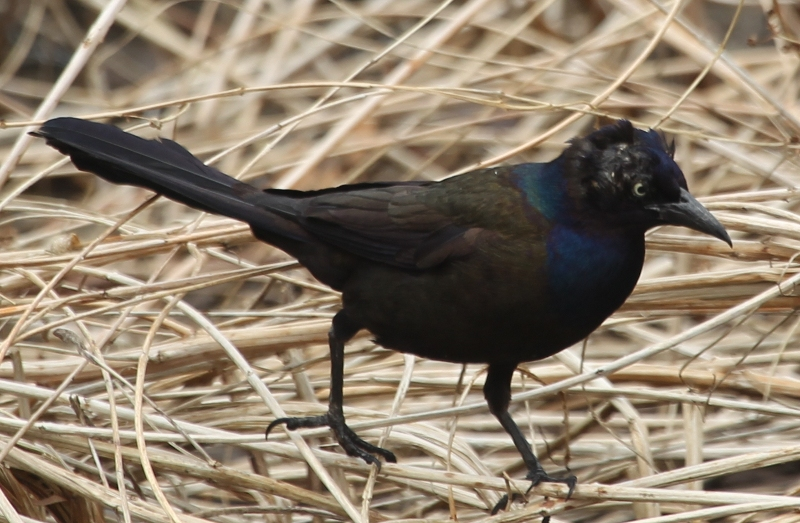 Balding common grackle