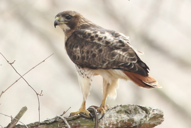 Red-tailed hawk about to enjoy a snake meal.