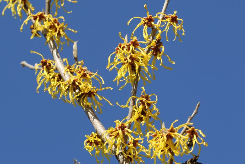 Yellow witch-hazel flowers against a blue sky