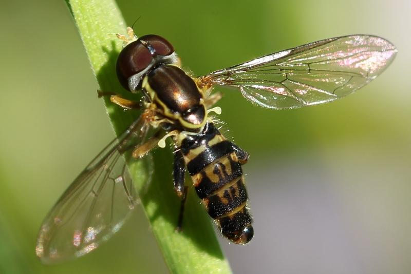 Hoverfly - Toxomerus geminatus