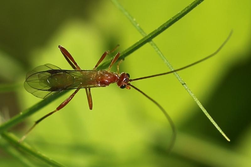 Mummy-wasp - Aleiodes