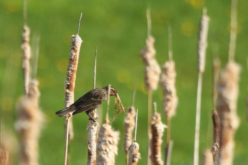 female red-winged blackbird gathering nesting material