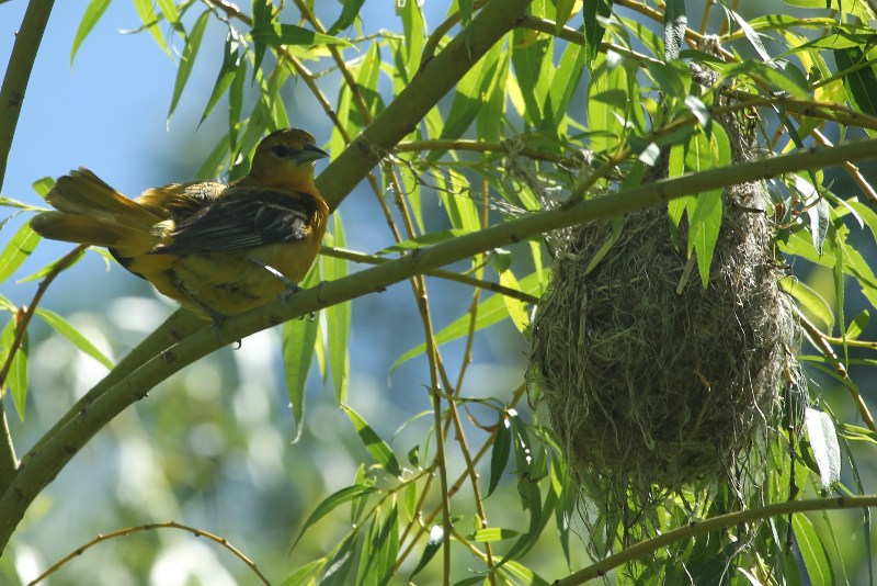 Female Baltimore oriole near nest