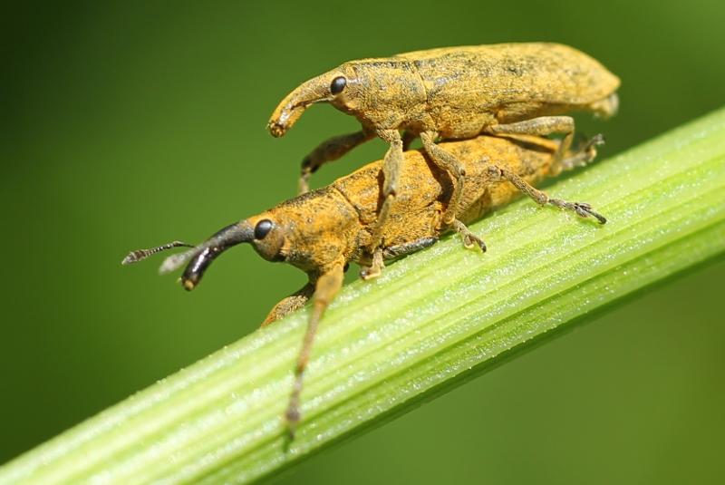 Lixus weevils mating