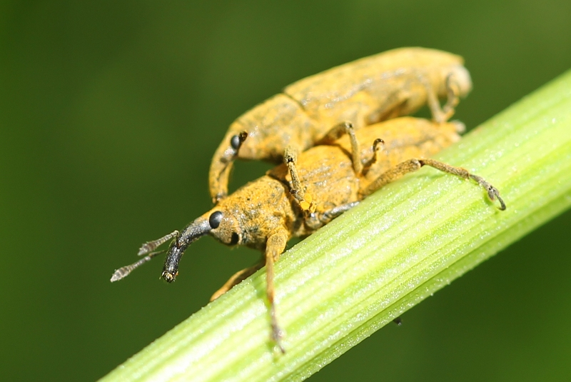 Lixus weevils mating, complete with amusing expressions