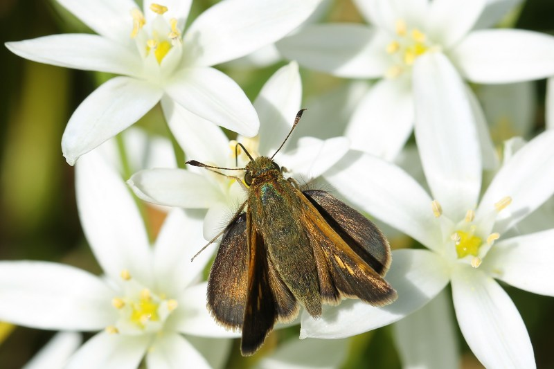 Tawny-edged skipper on star-of-bethlehem