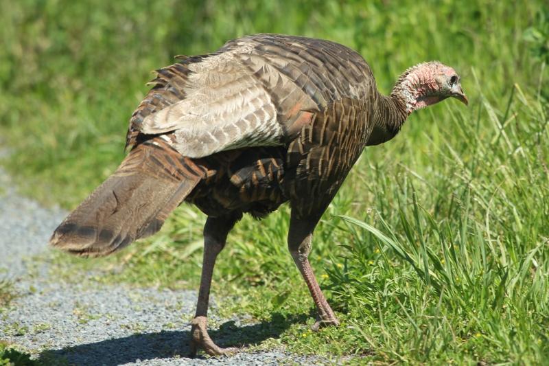 Wild Turkey on Spectacle Island