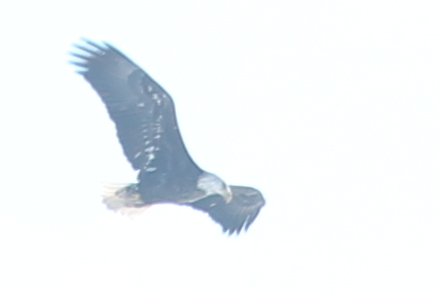 Bald eagle flying over Jamaica Pond