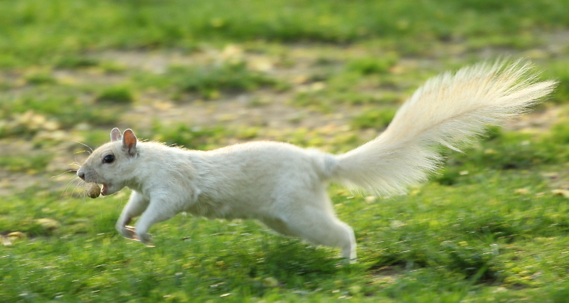 White squirrel bounding with a peanut.