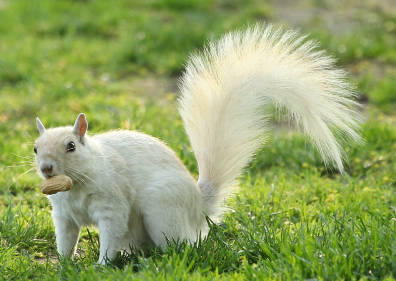 White squirrel with a peanut.
