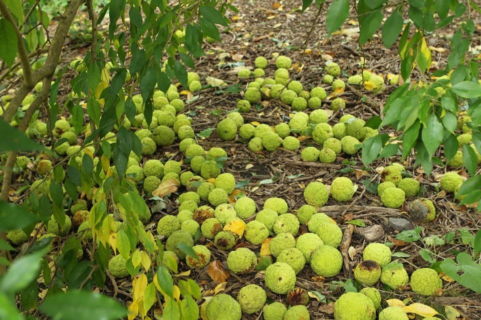 Osage-orange fruit