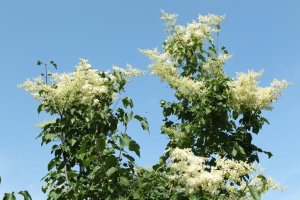 Amur tree lilac flowers