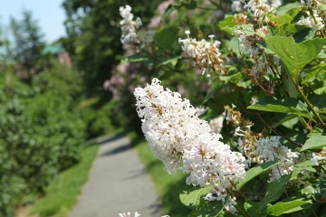 Late lilac flowers