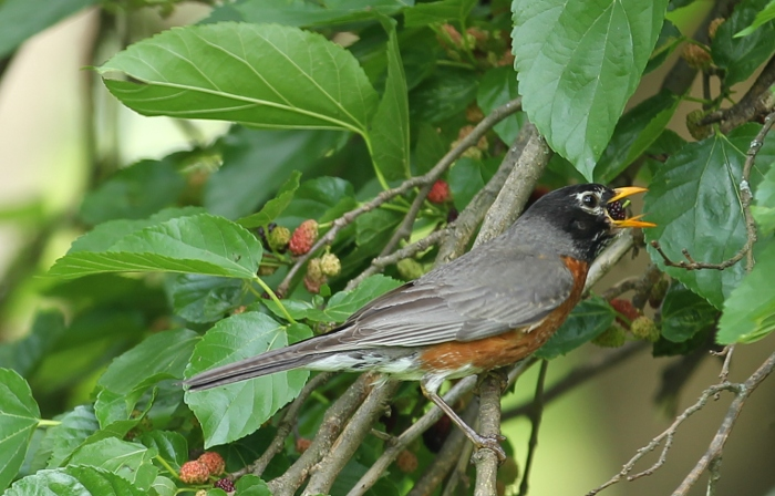 Robin eating mulberry