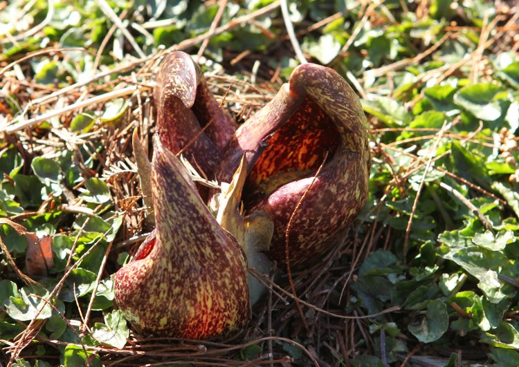 Skunk Cabbage in bloom