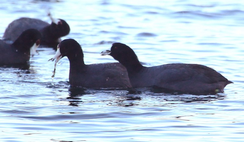 American coots feeding