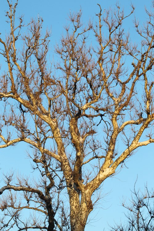Sycamore tree with no leaves