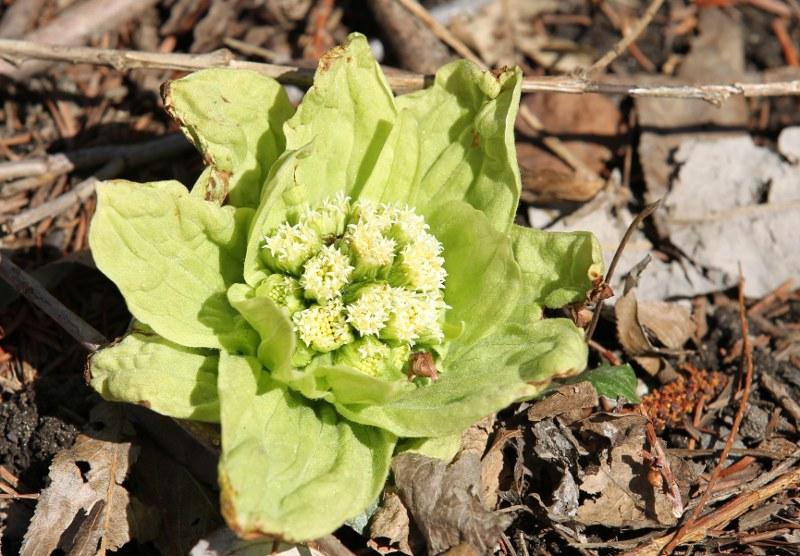 Japanese butterbur flowers