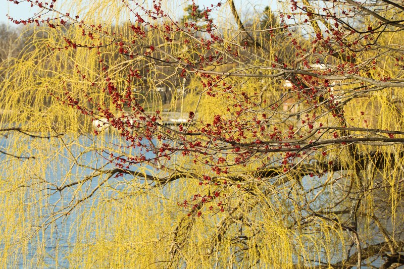 maple and willow flowers