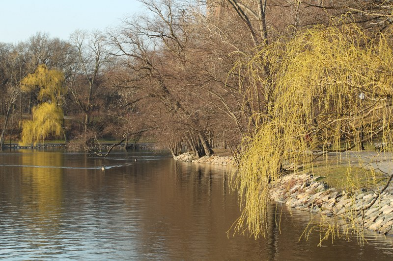 Geese and willows