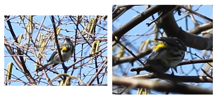 Yellow-rumped warbler, sitting still and flashing its rump