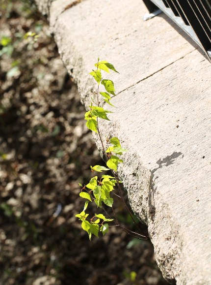 Gray birch seedling growing from a crack in the stone.