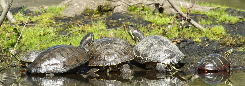 Red-eared sliders and a painted turtle sun themselves.