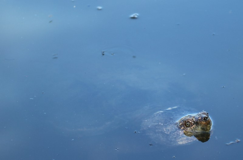 Snapping turtle with only its head above water