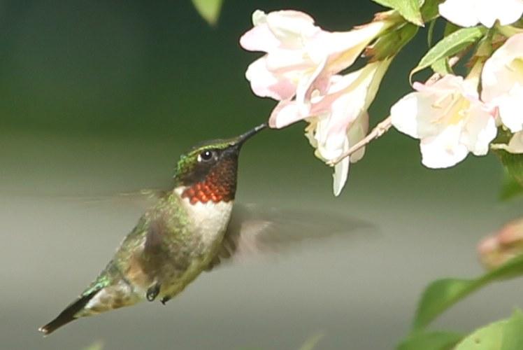 Ruby-throated hummingbird drinking from a Weigela praecox shrub