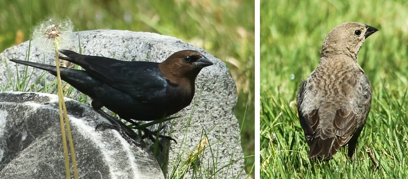 Male and female cowbird