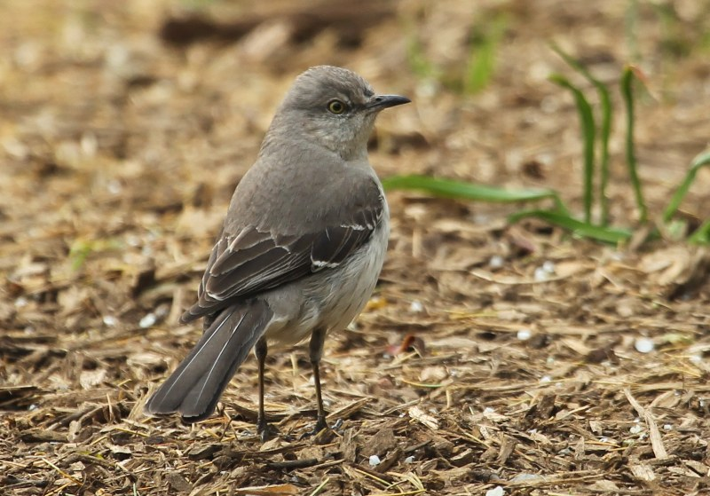 Northern Mockinbird on wood chips