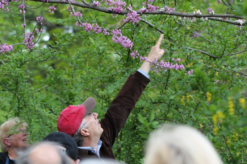 Ned Friedman pointing to a mutation in an eastern redbud tree