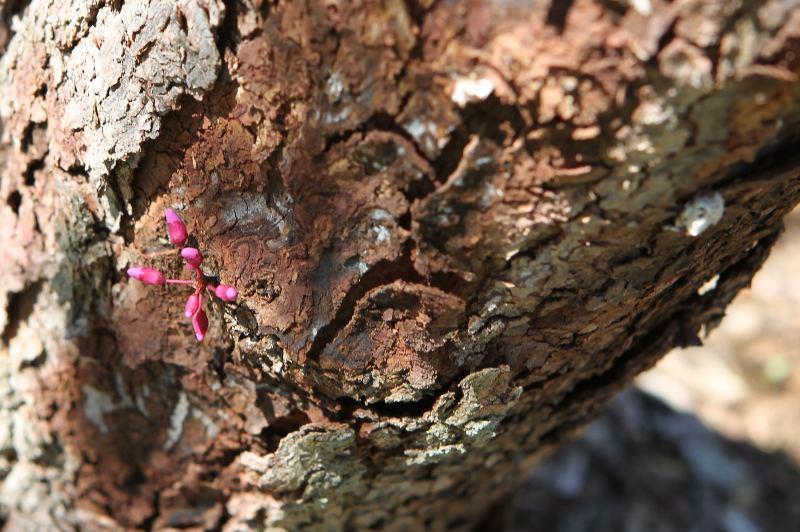 Eastern redbud flower bud on trunk
