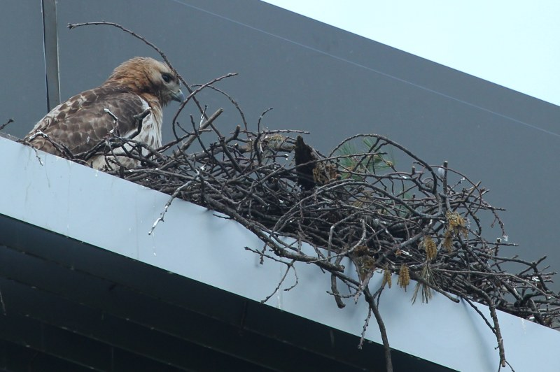 Red-tailed hawk by its nest