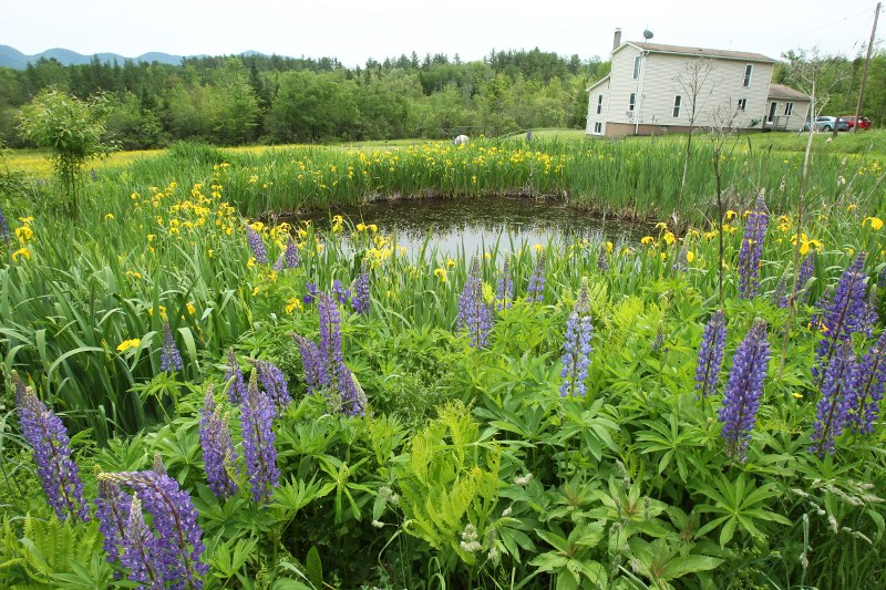 Pond with lupines and irises