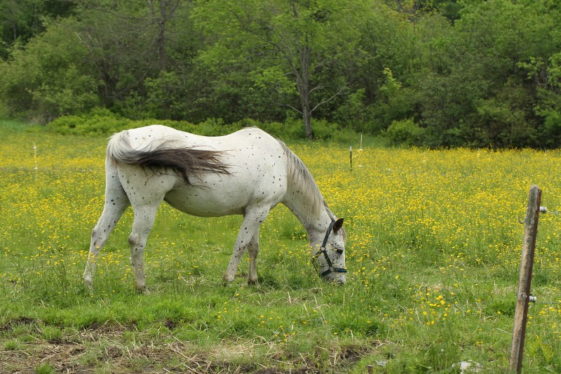 Horse in a field of tall buttercup