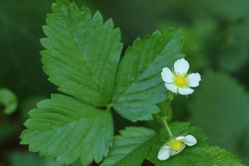 Common strawberry flowers and leaf