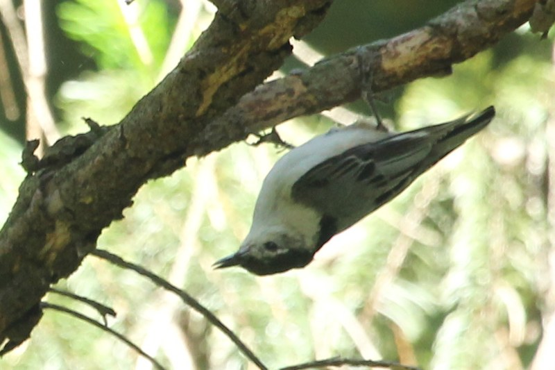 White-breasted nuthatch clinging upside down to a branch