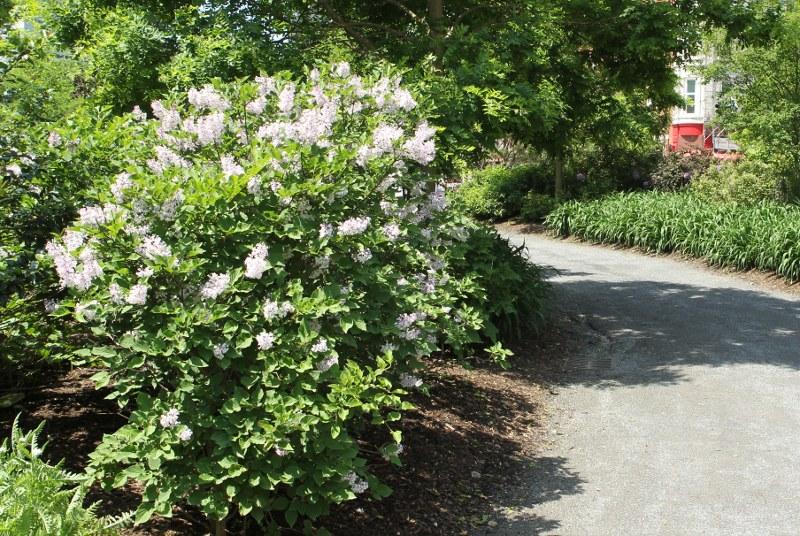 Miss Kim lilac shrubs in bloom