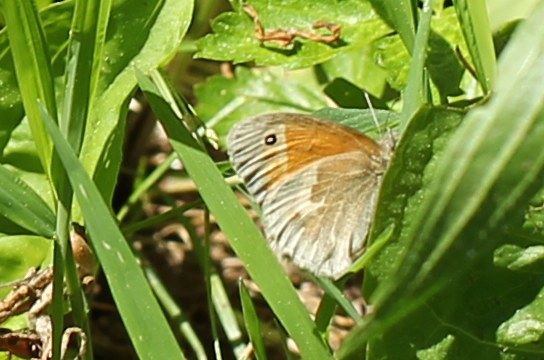 Common ringlet butterfly resting in grass