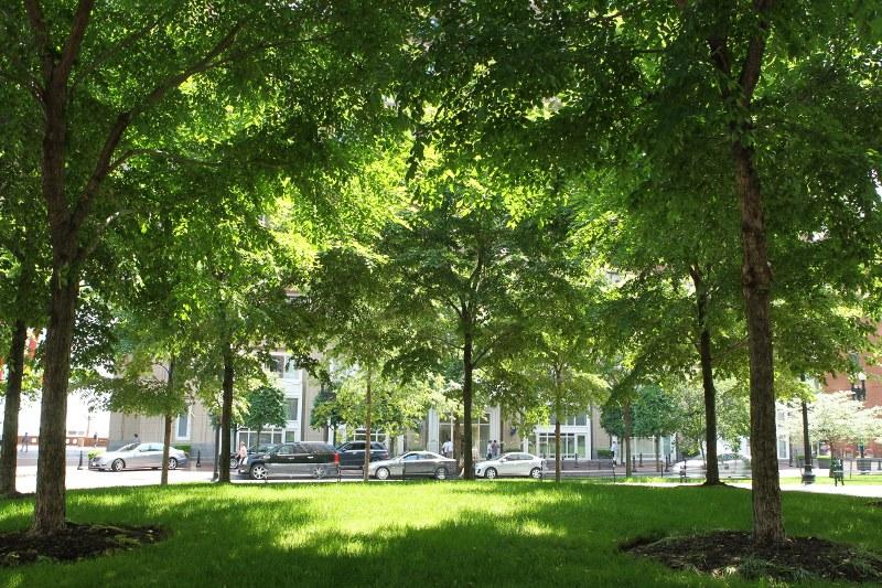 Shady grove of Morton elms