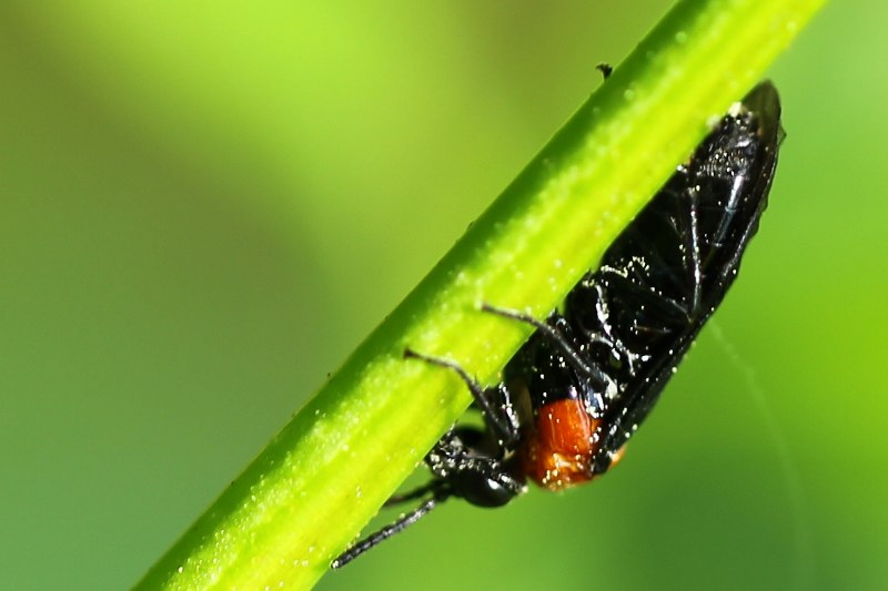 Sawfly, a black insect with red thorax