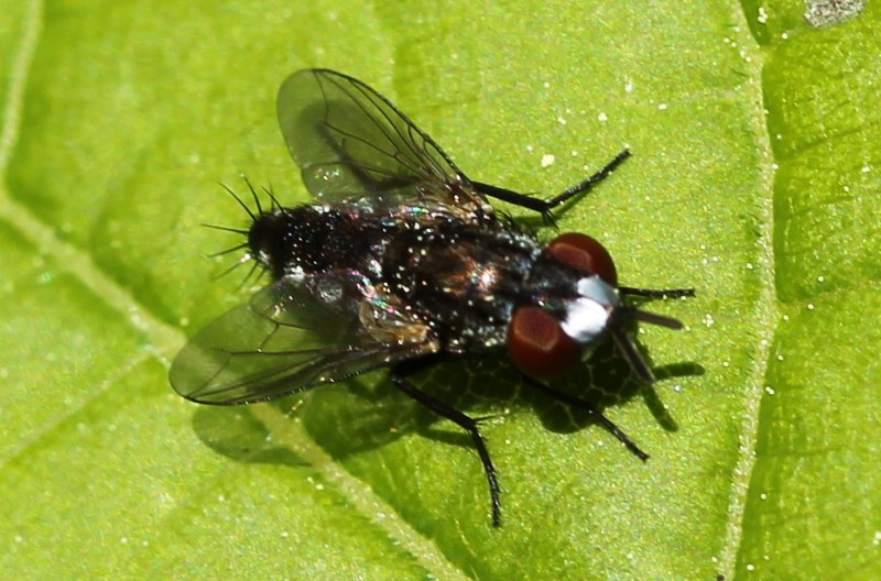 Satellite fly with bristles on its behind