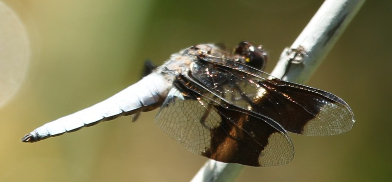 Common whitetail dragonfly with large, white abdomen