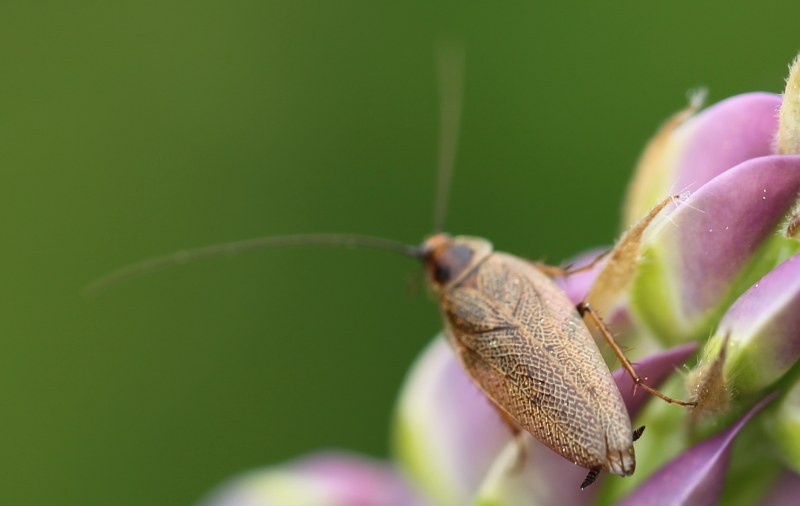 Tawny cockroach on a lupine flower
