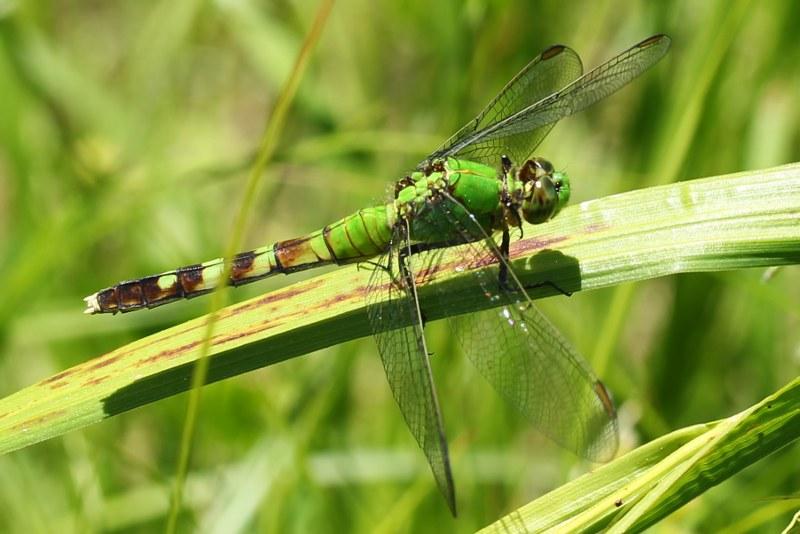 Female common pondhawk dragonfly
